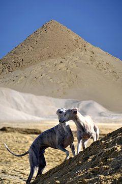 Whippets im Sand von Christine Nöhmeier