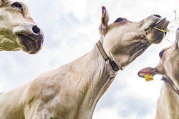 Drie koeien aan het grazen van Anne Van Opdorp