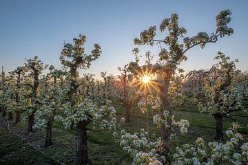 Bloesem in zonlicht van Moetwil en van Dijk - Fotografie