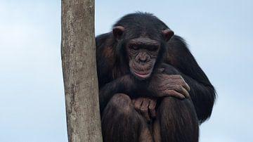 chimpansee van Gonnie van Hove