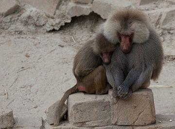Schlafende Affen von Marcel Kerdijk