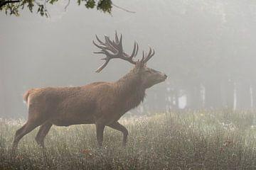 Red Deer *Cervus elaphus* van wunderbare Erde
