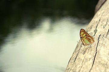 Vlinder op boomstam van Jessica van den Heuvel
