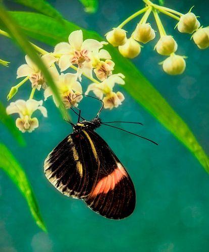 Passiebloemvlinder van