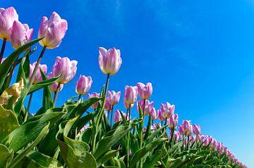 Rosa mit weißen Tulpen von Wijnand Medendorp