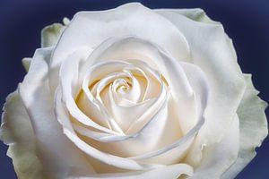 Witte roos met een hart in het midden van