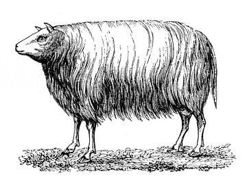 Dislay Schaf antiker Stich von 1871 von Peter Hermus