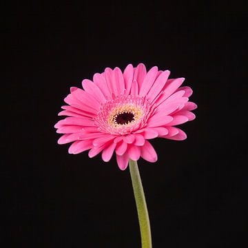 Pink, fuchsia flower (Gerbera) sur