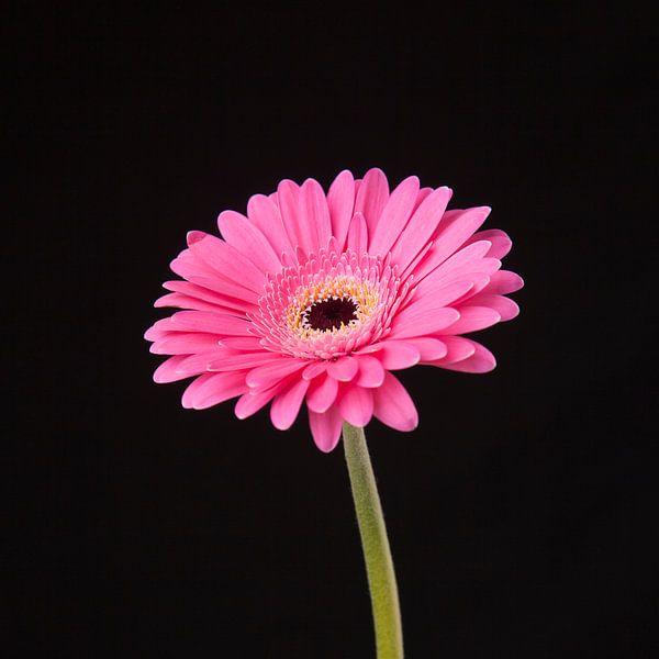 Roze Gerbera van Ramona Stravers