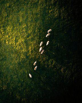 Schapen van boven lopen over het groene weiland met zonsopgang van Marion Stoffels