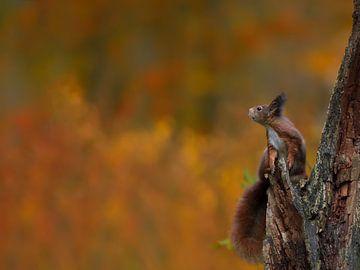 Jonge eekhoorn tegen prachtige herfstkleuren van Jaap La Brijn