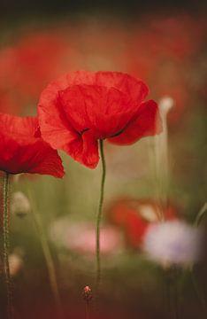 Schöne rote Mohnblume in Nahaufnahme von KB Design & Photography (Karen Brouwer)
