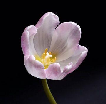 Tulp 4 von Jonathan Kremer