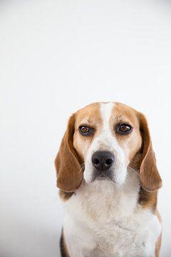 Beagle George von Janine Bekker Photography