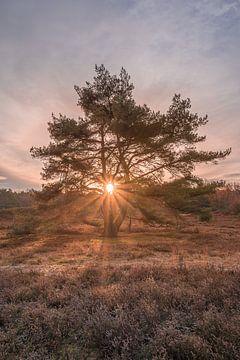 L'étoile du matin à la Brunssummerheide sur John van de Gazelle