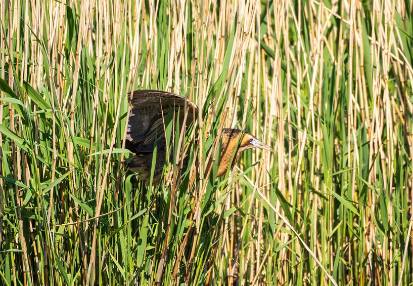 Rohrdommel-Reiher von Merijn Loch