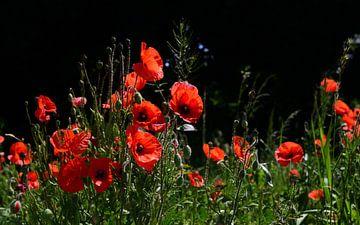 Blühender roter Klatschmohn vor dunklem Hintergrund von Ulrike Leone