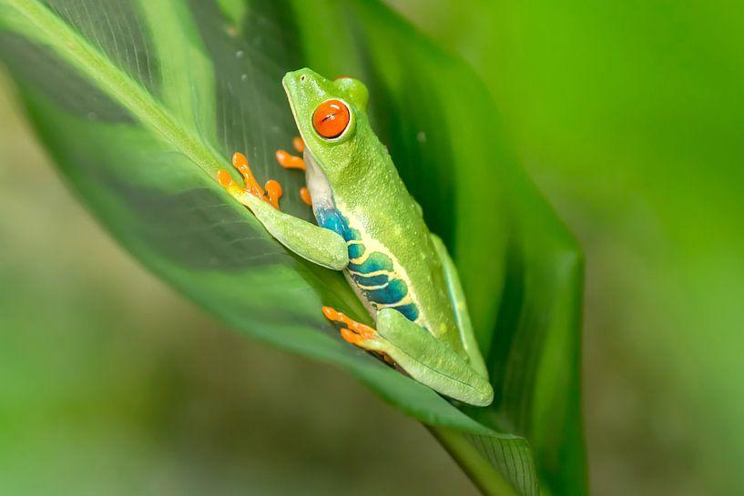 Red-eyed tree frog on a leaf von Tim Verlinden