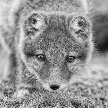 Arctic fox juvenile sur Menno Schaefer