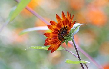 unieke oranje zonnebloem, oranje achtergrond, solitair, warme kleuren,  achtergrond oranje, groen, s von Ina Roke
