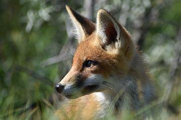 Junger Fuchs von Sylvia van der Hoek
