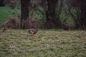 Ein Hase gefolgt von einem Hasen von Christian Van Ettekoven