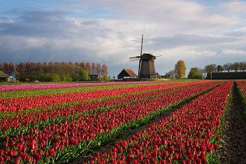 Bunte Reihen der Tulpen vor einer Windmühle von iPics Photography