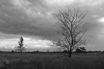 Berken op de Kalmthoutse Heide von Rafael Delaedt