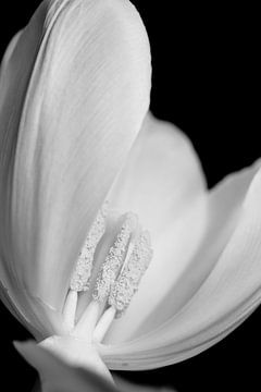 Tulpe von Stephanie Verbeure