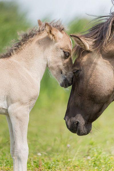 Paarden | Konikpaard merrie en veulen - Oostvaardersplassen van Servan Ott