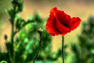 Natur genießen : Mohnblumen liebe von Michael Nägele