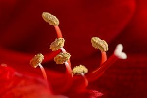 Hart van een amaryllis