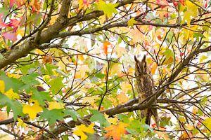 Ransuil tussen herfstbladeren van Amberboom