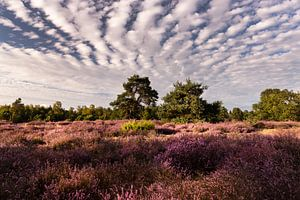 La lande de Leenderheide dans le Brabant septentrional sur Marianne van der Zee