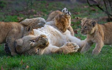 Babylöwen spielen mit Mama Löwe von Arisca van 't Hof