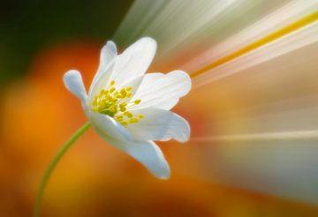 Flower Power (Bosanemone mit Strahlen) von Caroline Lichthart
