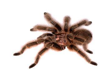 Tarantula van BVpix