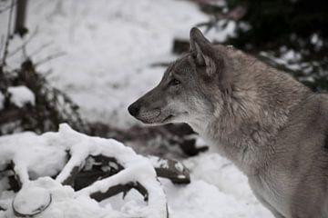 Kopf eines Wolfes im Profil, Nahaufnahme vor dem Hintergrund eines verlassenen Rades aus einer Pferd von Michael Semenov