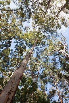 Eucalyptusboom
