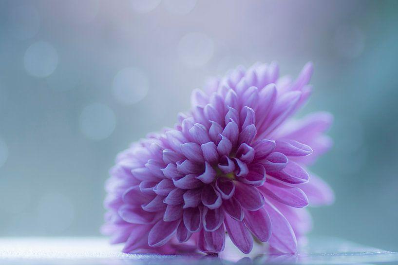 Douceur (chrysanthème rose) sur Birgitte Bergman