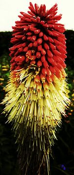 Belfast Flower (bloem) van