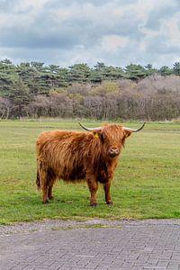 Hooglanders Texel