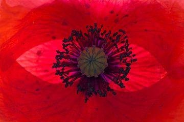 Herz einer Mohnblume von Barbara Brolsma