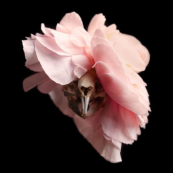 Muskus rat schedel met roze bloem van Marian Korte