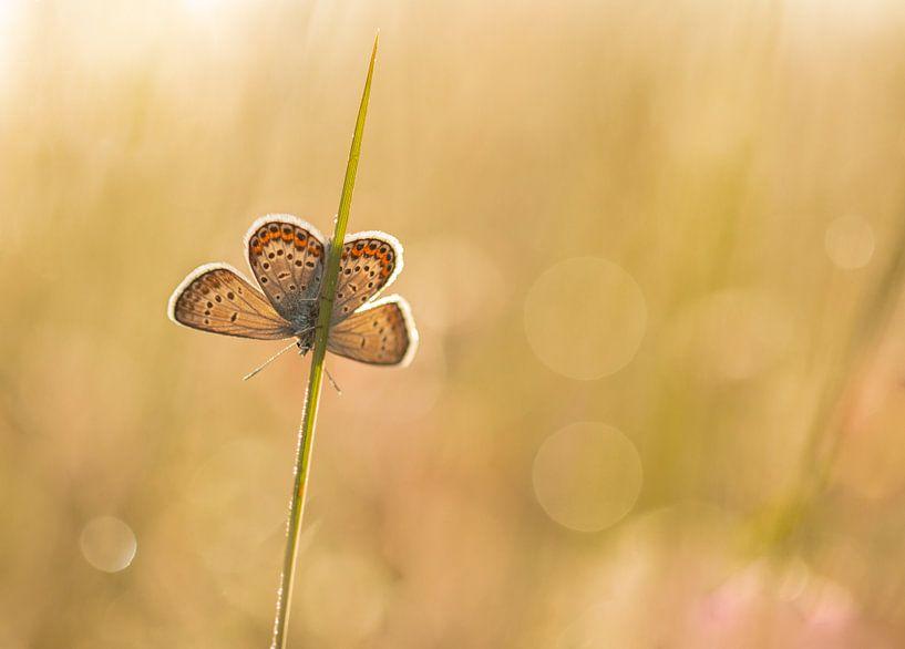 blauwtje (vrouwelijk) van Ria Bloemendaal