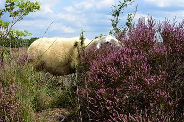 Een schaap en de heideplant van Gerard de Zwaan