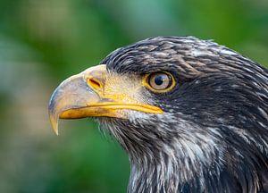 Der mächtige Adler. von Natascha Worseling
