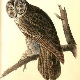Uil, Great Cinereous Owl., Audubon, John James, 1785-1851 van Liszt Collection