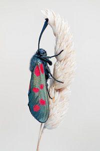 Sint-jansvlinder - Six-spot burnet - Zygaena filipendulae van