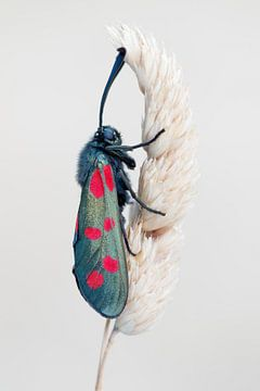 Sint-jansvlinder van Rick Willemsen